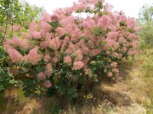 ピンクががったハグマノキの花、白いのもある。