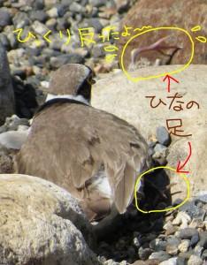 ひっくり返ったひなの足と、巣の中のひなと思われる足。あっ、図の中の文字が間違ってる。反ではなく、返ですね。