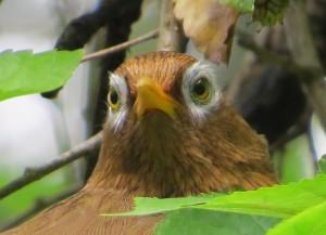 ガビチョウの目の周りはこんなにふさふさしてる