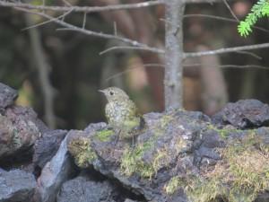 奥庭の野鳥(ルリビタキ幼鳥)
