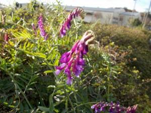 ナヨクサブジの花