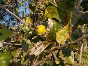 ロウバイの花(つぼみ)