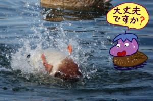 溺れる?マガモ