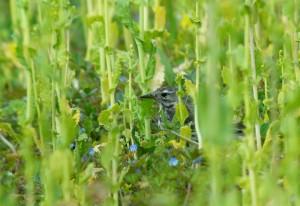 まだ花の咲く前の菜の花畑の中のタヒバリ
